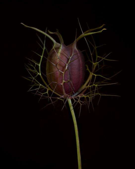 Nigella damascena by Ron van Dongen