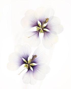 Hibiscus moscheutos by Ron van Dongen
