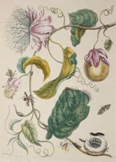 Passion fruit by Maria Sibylla Merian