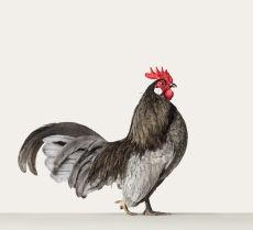 Hollandse Kriel, Rooster 1 by Alex ten Napel