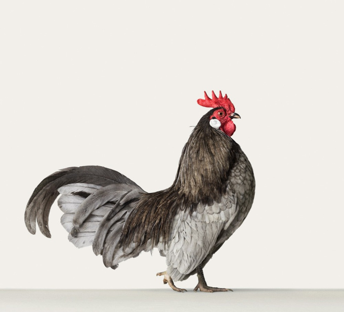 Hollandse Kriel, Rooster 1 by Alex ten Napel