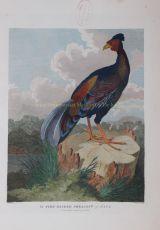 Pheasant of Java after William Alexander by William Alexander