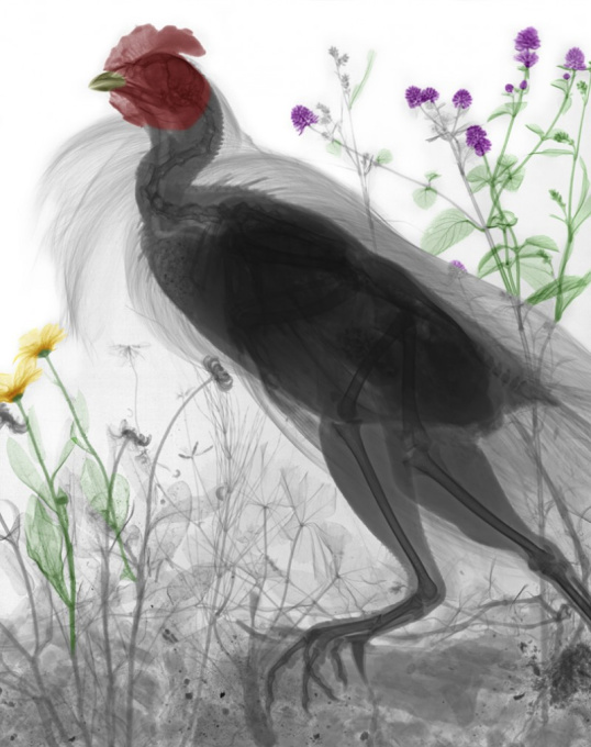 Chicken by Arie van 't Riet