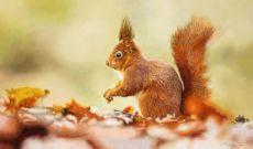 Rode eekhoorn by Walter Elst