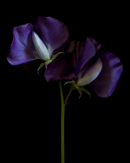 Lathyrus odoratus 'Royal Blue' by Ron van Dongen