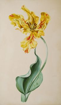 Tulip watercolour  by Unknown Artist
