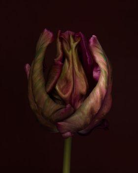 Tulipa Blue Parrot by Ron van Dongen