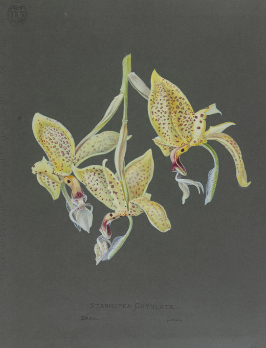 Set of 67 stunning colour orchid drawings from Petschkau (Pecky) castle in Bohemia by Caroline Maschek