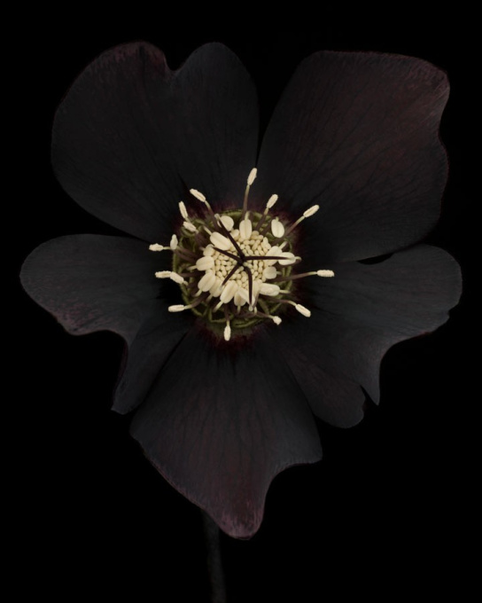Helleborus x hybridus 'Odile' by Ron van Dongen