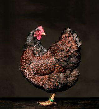Barnevelder, Hen 1 by Alex ten Napel